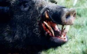 Una manada de jabalíes mata a tres terroristas de DAESH…