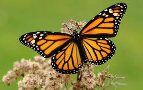 monarca 2
